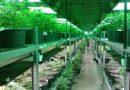 Wundersame Rückkehr der Cannabis-Pflanze