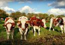 Strompreise zeigen Konsumenten als Melk-Kühe auf